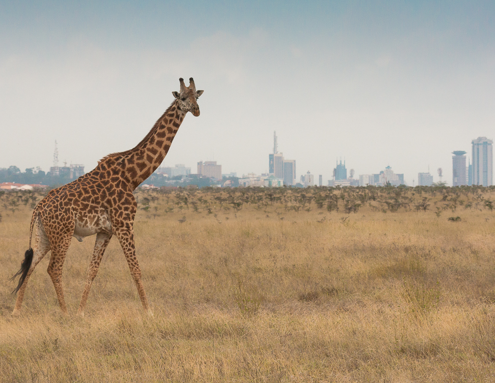 Giraffe in Nairobi National Park with City in Background
